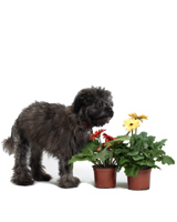 Image of Charlie the Dog with potted gerberas.